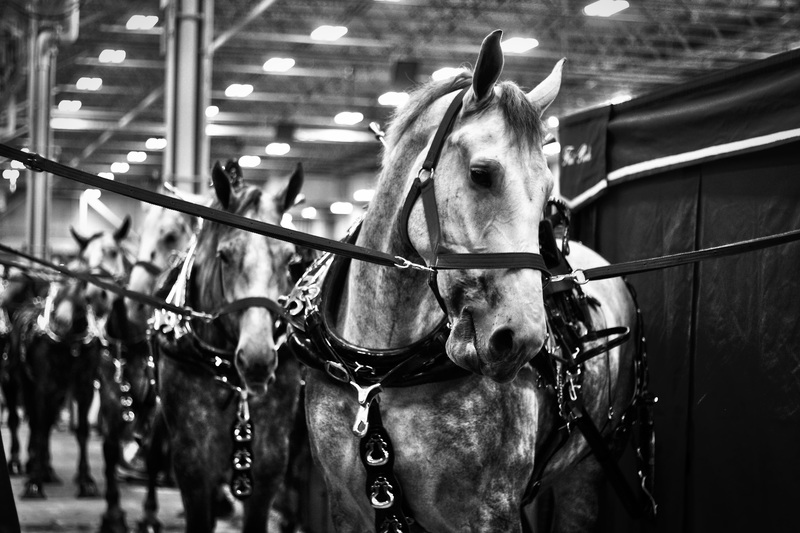 "PHS Senior, Grace Miller, earned a 1st place award for her photograph, ""Les Chevaux,"" taken at the Indiana State Fair."