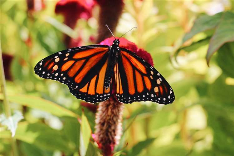 Grace Miller earned an Honorable Mention of her photo of the Monarch butterfly.